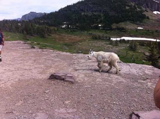 mountain goat on path