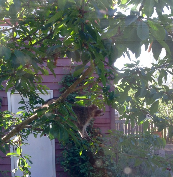raccoon in cherry tree