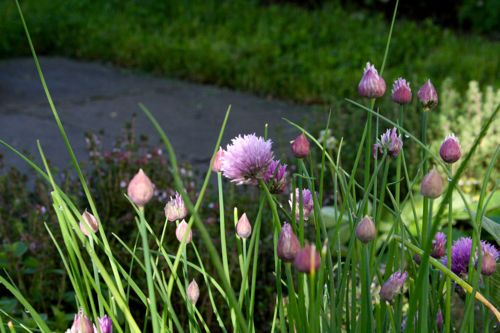 chive flowers at morning