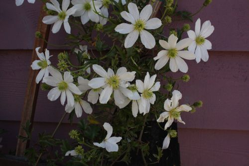 evergreen clematis in bloom