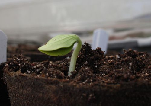 pumpkin seedling in the morning