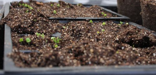 basil seedlings in the morning