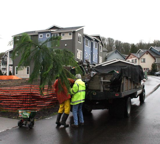the Norfolk Island Pine on moving day