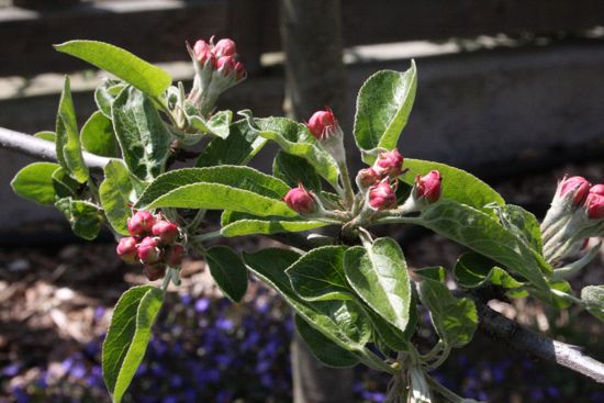 buds on the apple tree