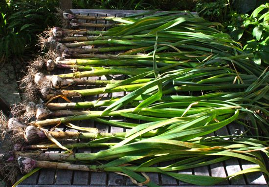 garlic crop, part one, 2011